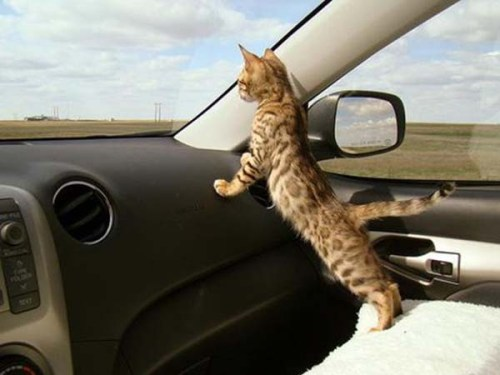 kitten on a road trip